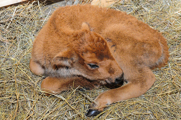 4 2013 Apr 20 Orphaned Bison Calf Update #1