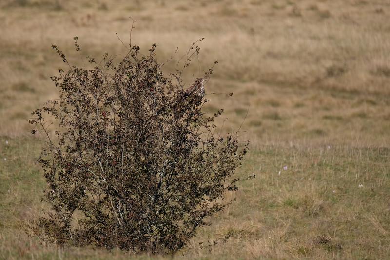 myszołów | common buzzard | buteo buteo
