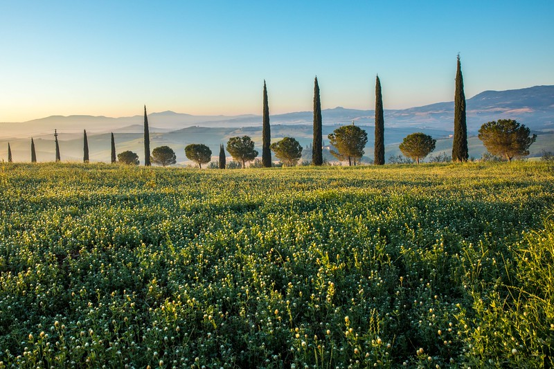 Yellow Flowers and Cypress Trees Tuscany-7457.jpg