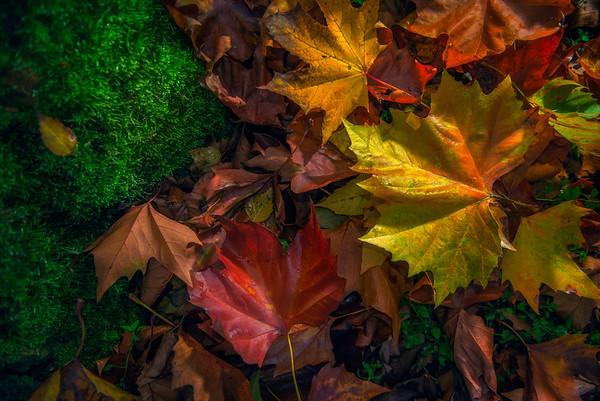Fine Art natuur foto van esdoornbladeren gevallen op de grond in de herfst met mooie herfstkleuren.