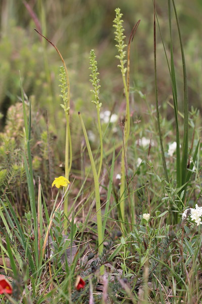 Microtis  arenaria - Notched Onion Orchid - Anglesea
