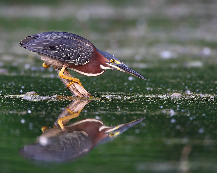 Green Heron Hunting 3.jpg