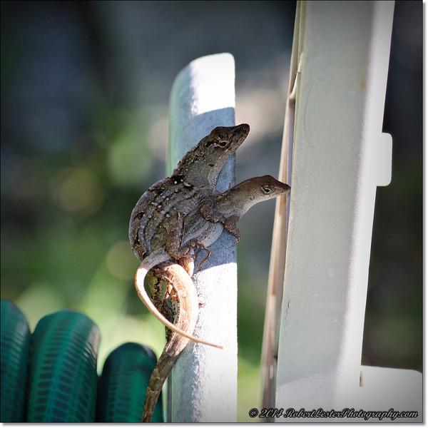 2014-06-06_IMG_0845__Anole Lizard,Clearwater,Fl..JPG