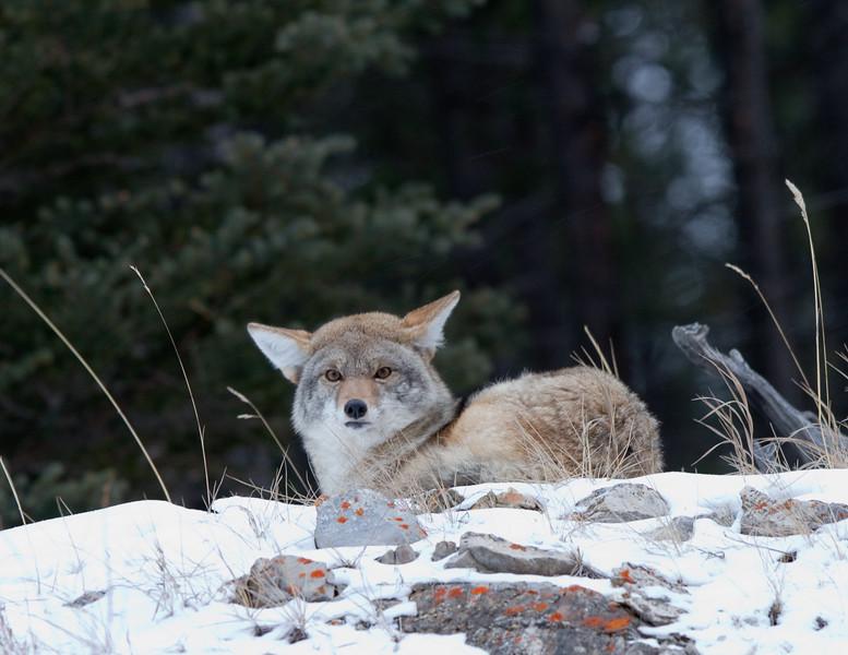 Coyote - Kananaskis