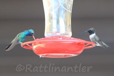 Broad-Billed Hummingbird and Black-Chinned Hummingbird
