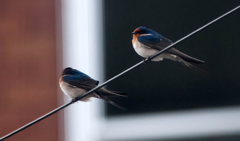 Welcome Swallow's