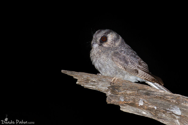 Owlet-Nightjars