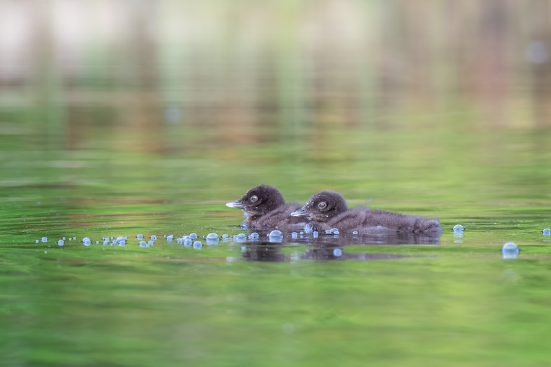 #1247 Common Loon Chicks