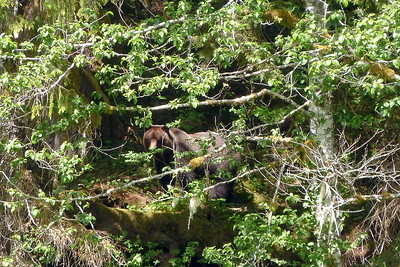 Brown Bear Hiding June 2014, Cynthia Meyer, Chichagof Island, Alaska
