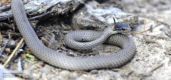 Drysdalia mastersii (Master's Snake)
