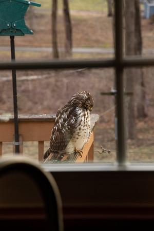 Hawk on My Deck