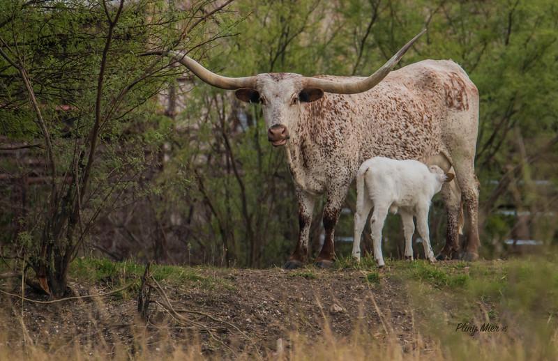 Longhorn and calf_DWL3570.jpg