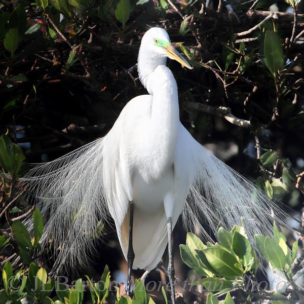 Egret displaying breeding plumage