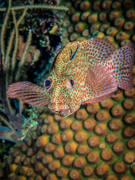 Rock Hind Ambergris Caye Belize-.jpg