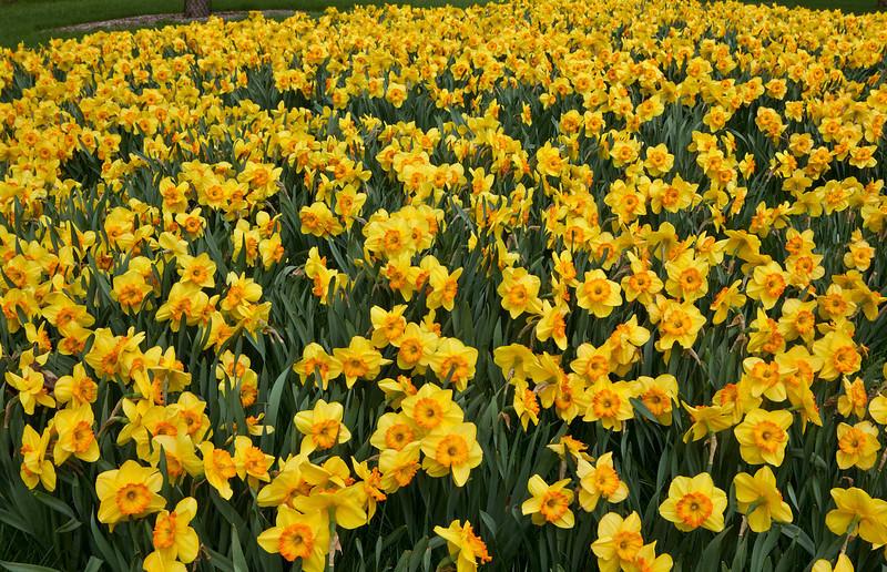Yellow daffodils, Morton Arboretum, Illinois
