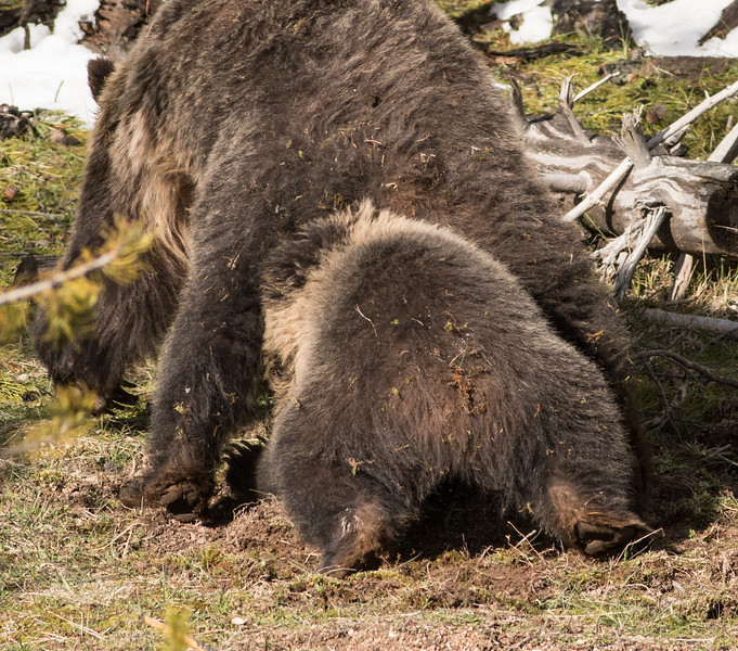 Grizzly sow and cub Yellowstone National Park WY DSC06680.jpg