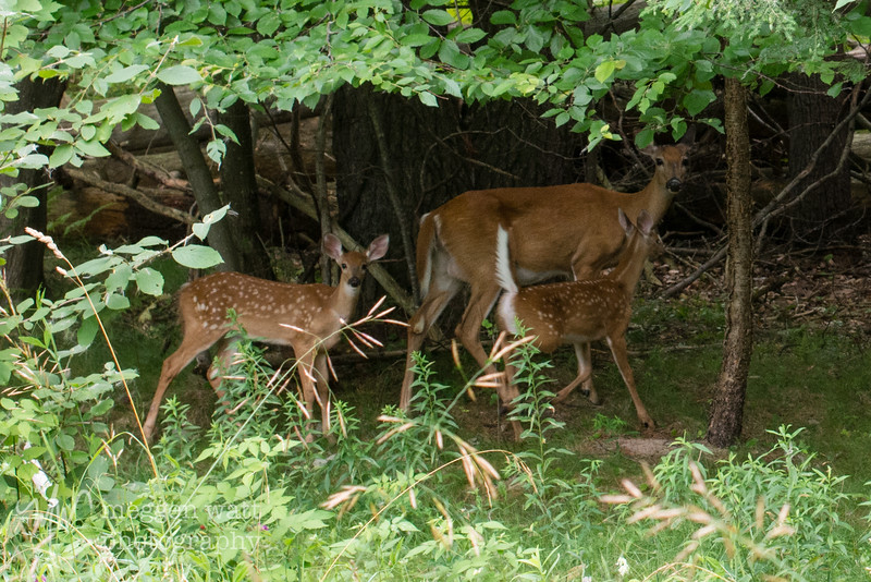 TLR-20190812-8881 Doe and fawns