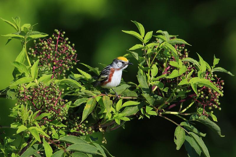 Chestnut Sided Warbler, Blue Ridge Parkway, Maggie Valley, NC - 30 June 2013