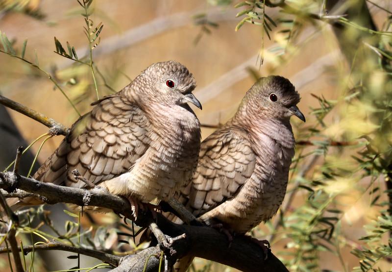 Scalded Doves.jpg