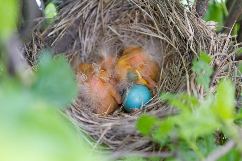 The three baby robins sleeping and the fourth yet-to-hatch egg
