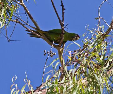 Parakeets of Lakewood