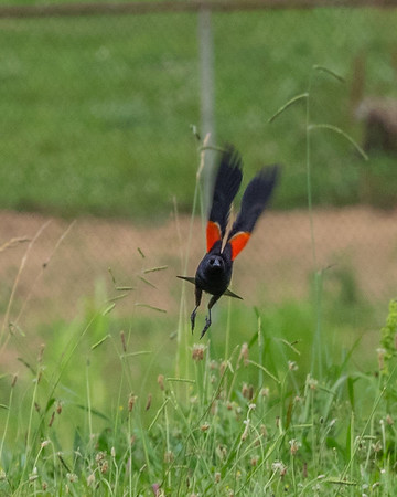 Eagle Bend Red-Winged Blackbirds