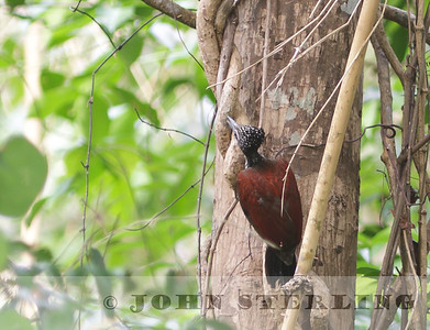 Sterling's Woodpeckers