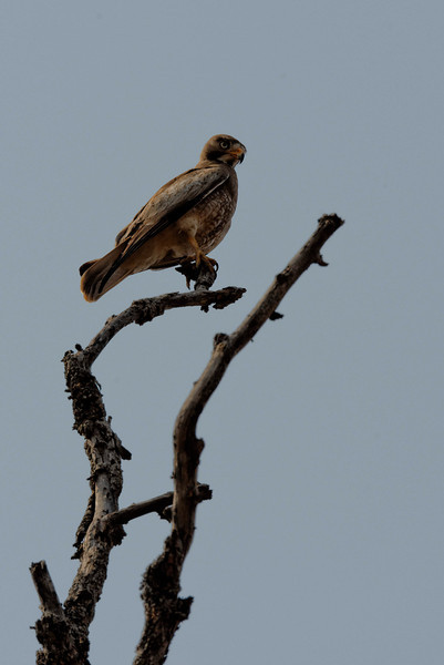 Honey buzzard.