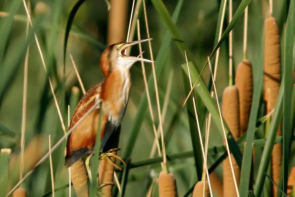 Wading Birds - Egrets, Herons, Ibis, Storks