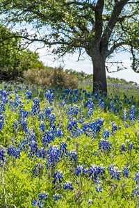 Bluebonnets on the side of a hill under a tree