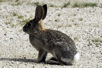 Audubon's Cottontail