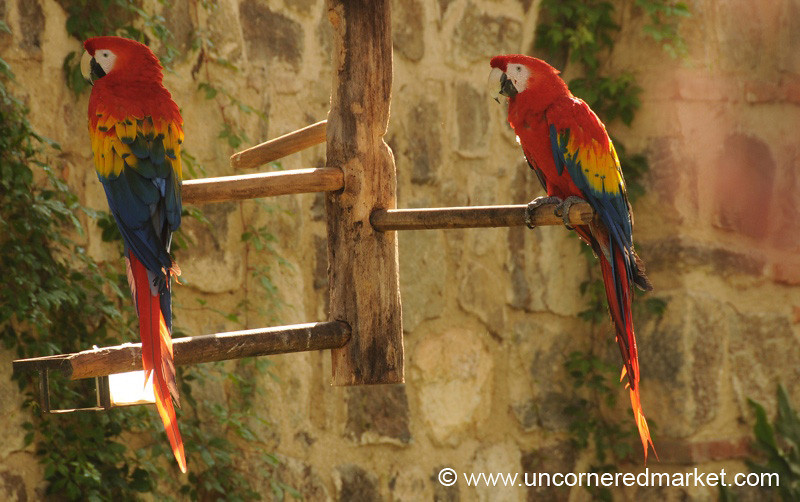 Scarlet Macaws - Antigua, Guatemala