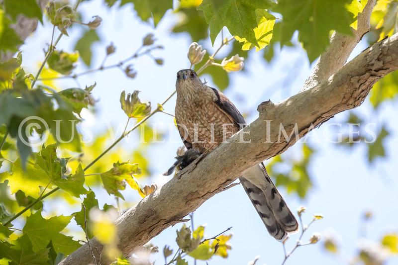 Coopers_Hawk_with_Bird_AL3I7401.jpg