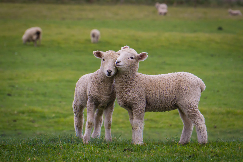 love-ewe-sheep-new-zealand.jpg