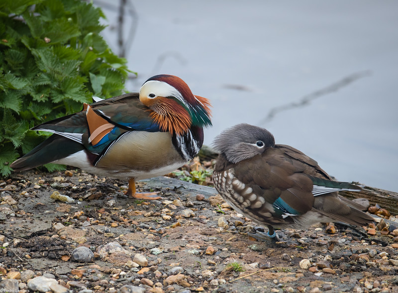 Mandarin Ducks.jpg