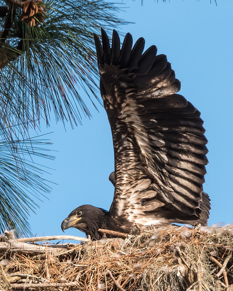 Juvenile Eagle in nest