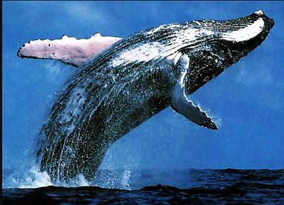 Saving a Hump Back Whale