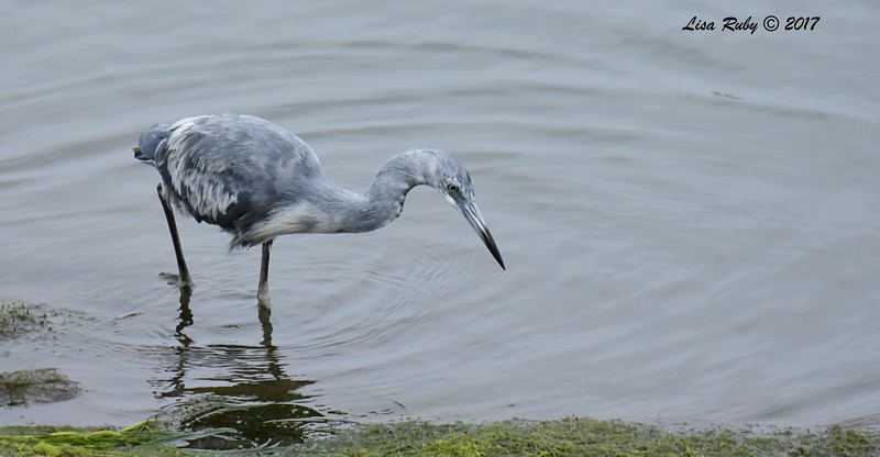 Immature Little Blue Heron in its pied plumage - 7/2/2017 - Robb Field