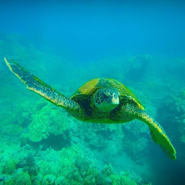 turtle maui.jpg
