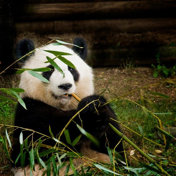 Panda atlanta  best final copy.jpg