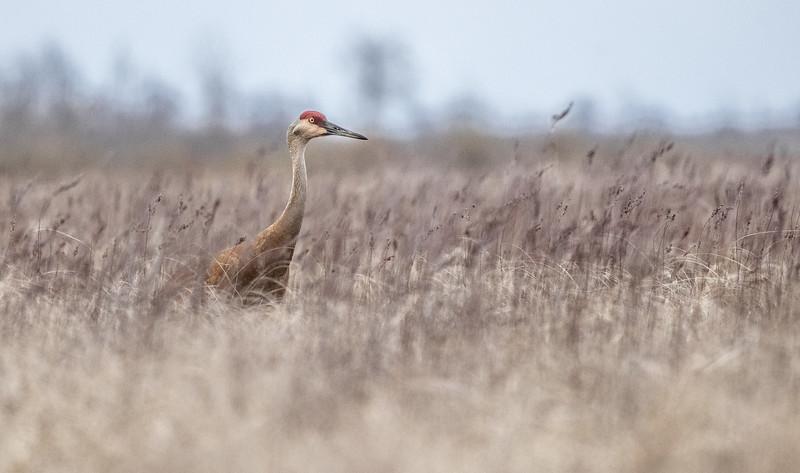 Sandhill Crane Crex Meadows Grantsburg WI IMGC6224.jpg