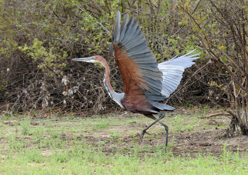 077_A Goliath Heron takes off.jpg