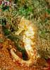 Seahorse - Yellow