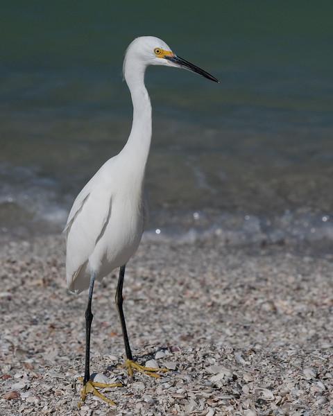 Meet Sneaky the Snowy Egret