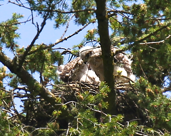 The chicks erupt with beating of wings together!! Its quite the sight to see through the lens May 29, 2012 Redtailed hawk chicks with their mother on the nest