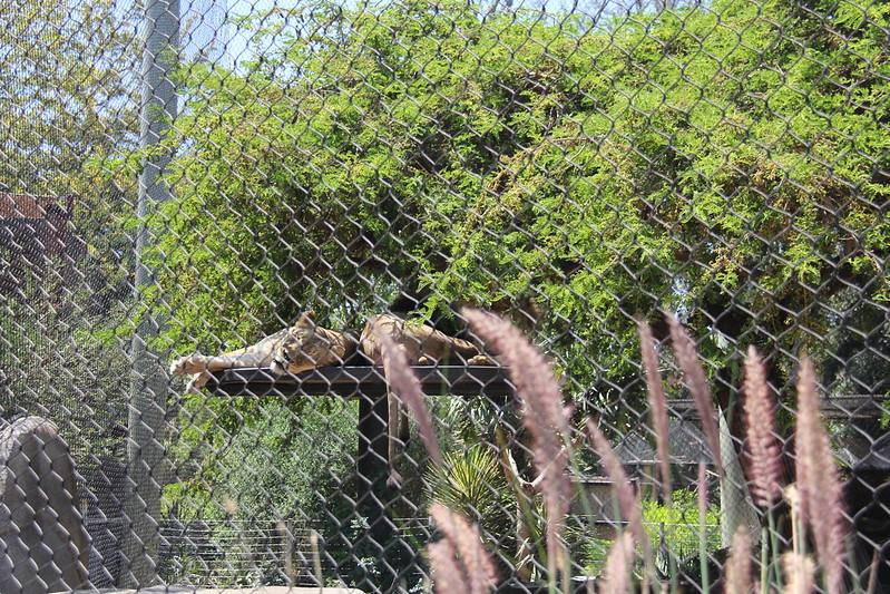 20170807-067 - San Diego Zoo - Lions.JPG