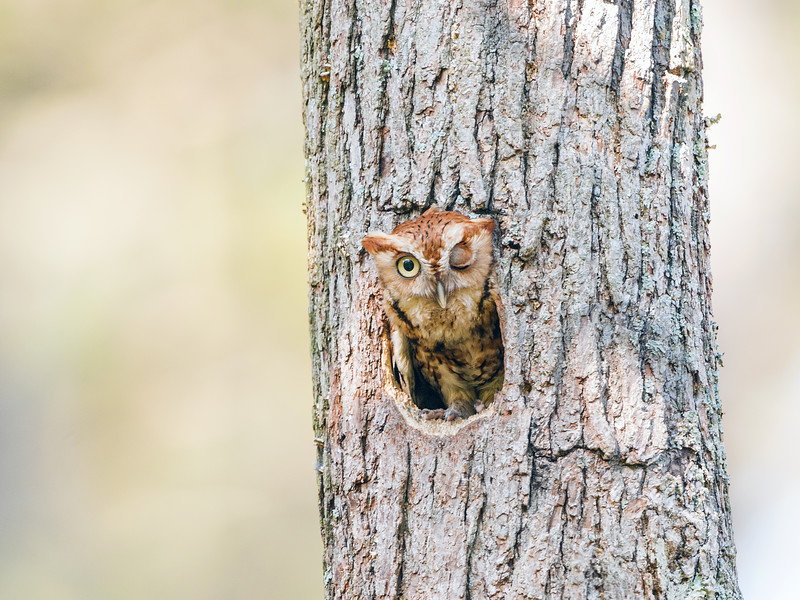 Eastern Screech Owl Red Morph in Tree Cavity Winking.jpg
