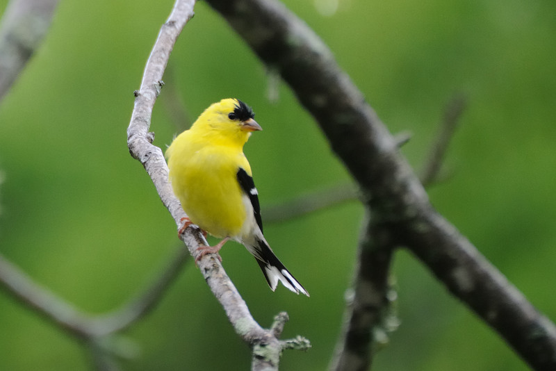 And the American goldfinch came a bit closer.