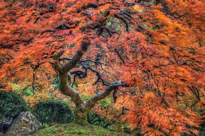 Japanese Maple, Autumn, Study 7, Japanese Garden, Portland, OR