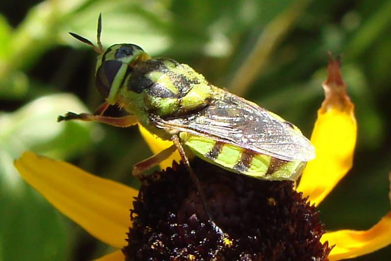 Soldier Fly (Odontomyia sp.).  TX: Tarrant Co. (Duhons' Fort Worth yard), 19 August 2009.